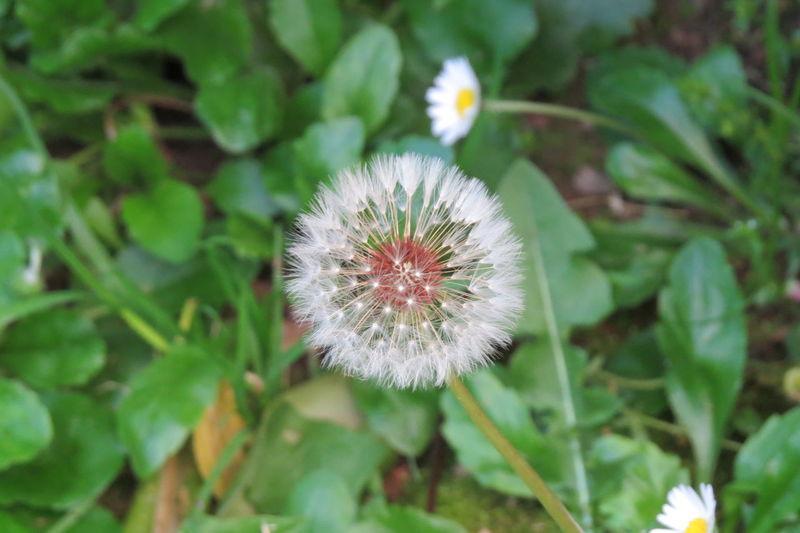 Fluffy rounding Flower Head Flower Poppy Springtime Uncultivated Wildflower Dandelion Close-up Plant
