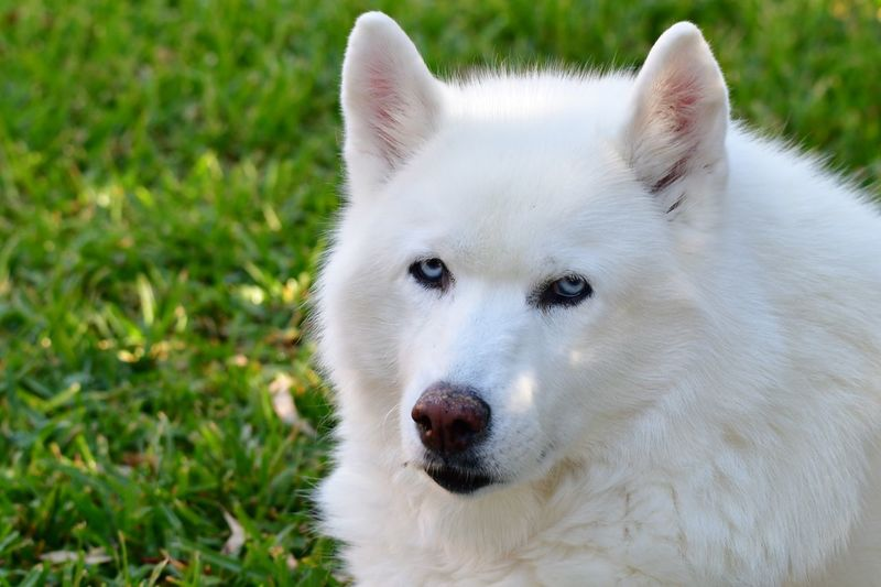 White Fur Blue Eyes Siberian Husky Mammal Animal One Animal Animal Themes Domestic Animals Pets Domestic Focus On Foreground Animal Body Part Day Portrait Nature Animal Head  Looking At Camera No People Close-up White Color Vertebrate Canine Dog