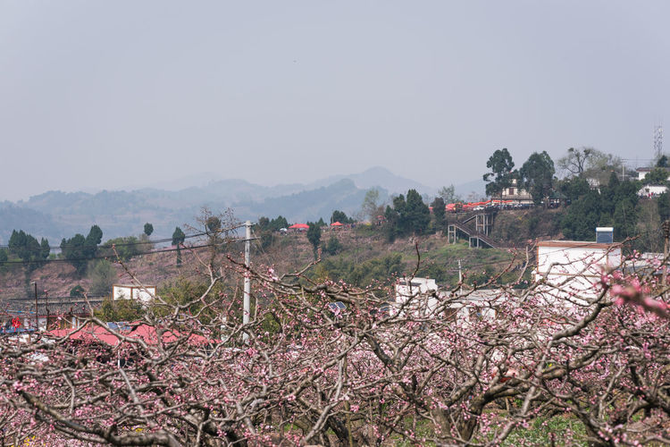 peach tree in the village of chengdu longquanyi Tree Plant Beauty In Nature Sky Nature Landscape Growth Flower Day Tranquility Tranquil Scene Flowering Plant Scenics - Nature Clear Sky No People Environment Springtime Copy Space Mountain Freshness Outdoors Cherry Blossom Chengdu Village Village Life Peach Tree Countryside Feild