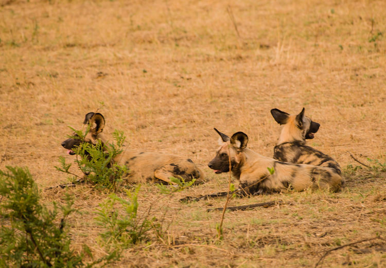 Wild Dogs Sitting On Field