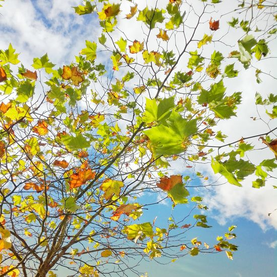 Nature imitating Art Backgrounds Leaf Sky Multi Colored Green Color Outdoors Beauty In Nature Lovelancashire Autumn🍁🍁🍁 Lancashire Astley Park Chorley Autumn Nature Tree Day Branch No People Close-up