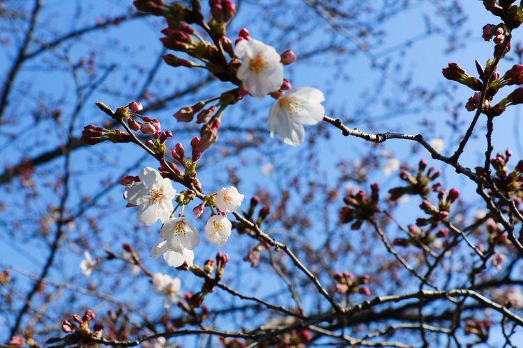 EyeEm Tokyo MeetUp 12 Sakura Sakura2016 Cherry Blossoms Sky Spring Vscocam VSCO Urban Spring Fever EyeEm Nature Lover