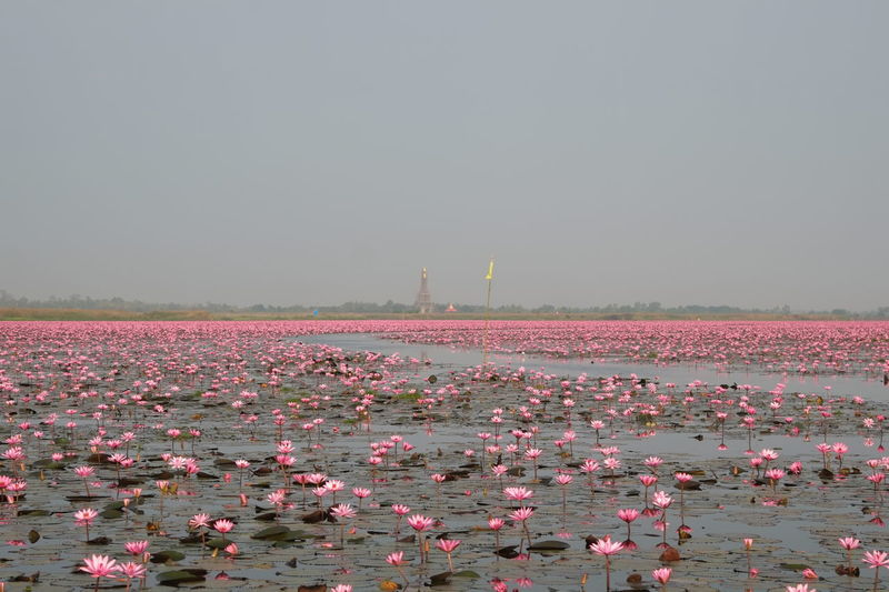 Beauty In Nature Flag Landscape_photography Lines And Shapes Lotus Flower Nature Outdoors Pink Color Red Lotus Lake Sea Temple