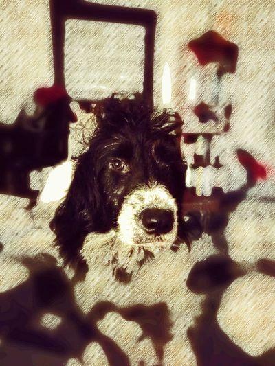 Domestic Animals Dog One Animal Hundefotografie Indoors  No People Border Collie Mix Hovawart Mix Irish Wolfhound Mix