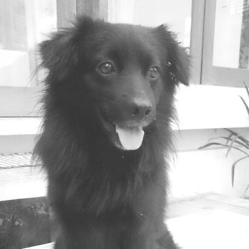 jaguar Mixed Breed Bali Dogs Kintamani Dog Dog Blackandwhite BlackDog Doglover