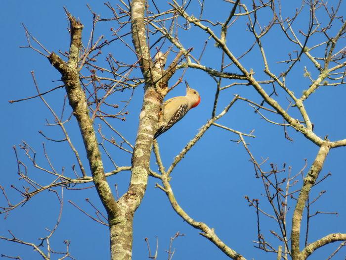 Woodpecker upside down Wood Pecker Wood Peckers Tree Bird Clear Sky Branch Bare Tree Blue Flower Sky Close-up Plant