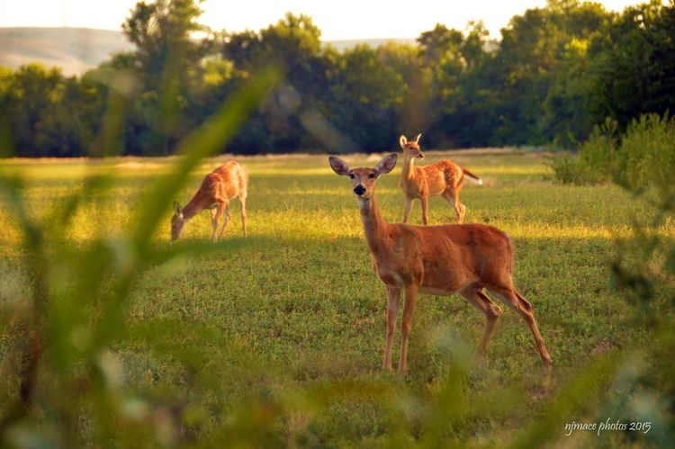 Momma and her twins! Capture The Moment Deer Fawn Twins