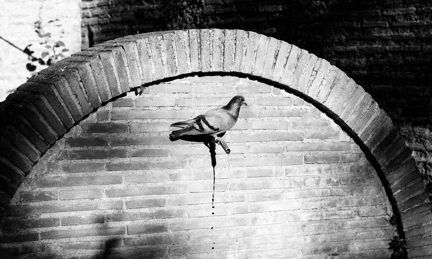 Pigeon On Faucet In Brick Wall