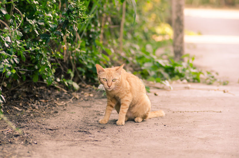 Cute Pets Ginger Cat Kitty Thai Cat The Week On EyeEm Animal Animal Themes Cat Cute Cats Day Domestic Animals Domestic Cat Feline Kitten Mammal Nature No People One Animal Outdoors Pet Pets Road