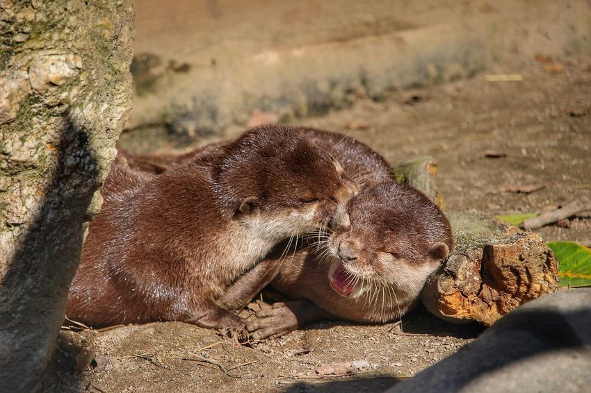 Animals In The Wild Animal Wildlife Mammal Day Animal Themes No People Outdoors One Animal Close-up Nature Otter Fischotter