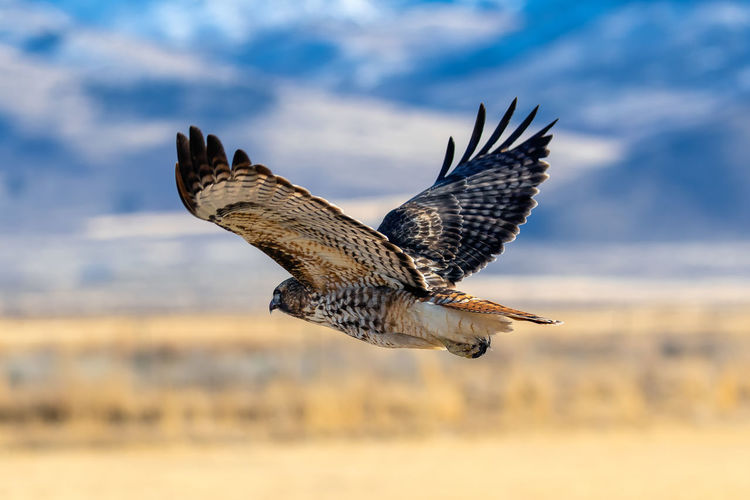 Red tailed hawk in flight close-up photograph.
