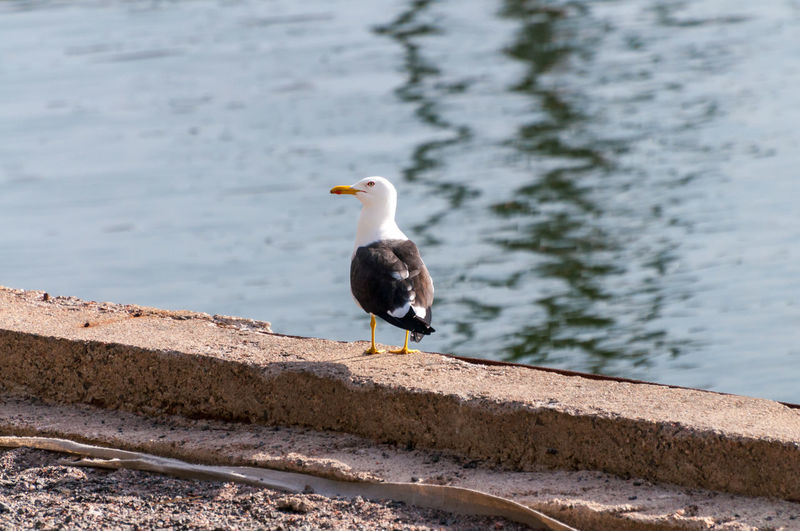 Seagull perching on retaining wall by lake