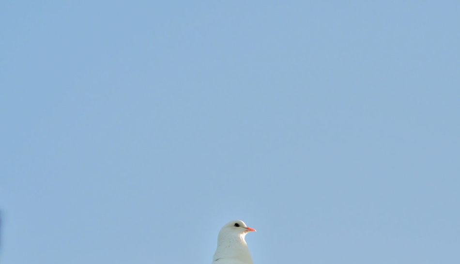 Animal Themes Animal Wildlife Animals In The Wild Bird Blue Clear Sky Close-up Day Dove Love Nature One Animal Sky