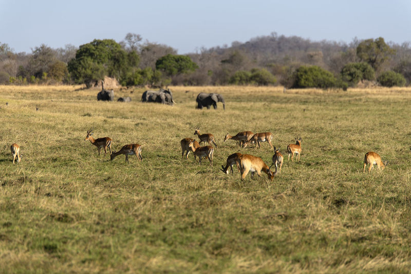 Impalas in a field