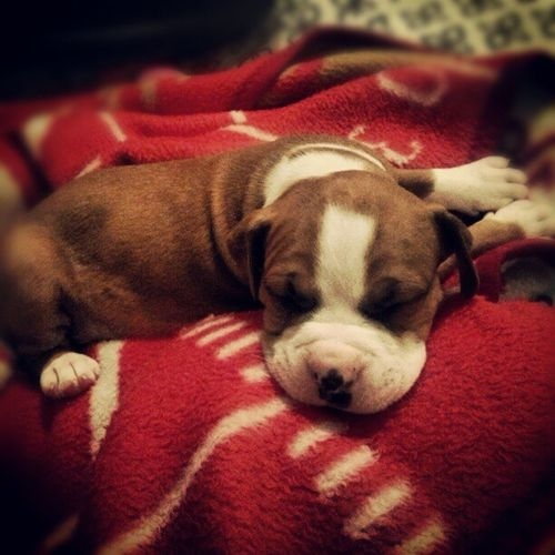 NewPuppy Pittbullpuppy Pittbull Cute lovehim littlebaby