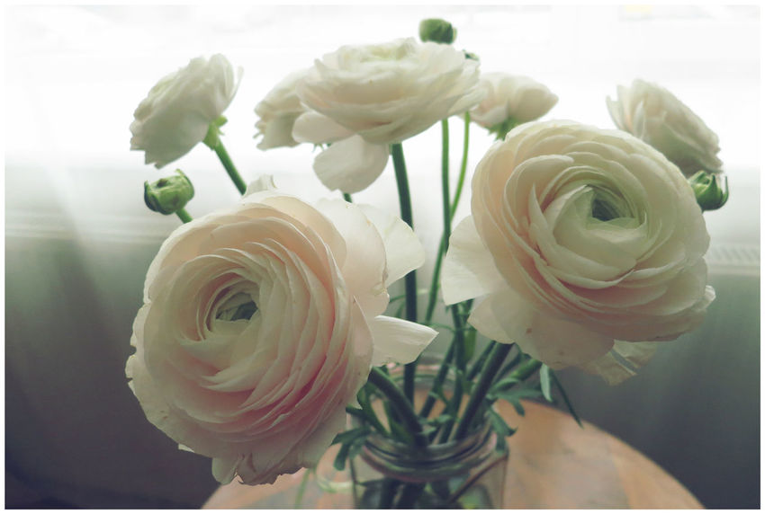 Ranunculus Birthday Flowers Flower Flower Head In Bloom Indoors  Pink Color Ranunculus Tender Tenderness White Color