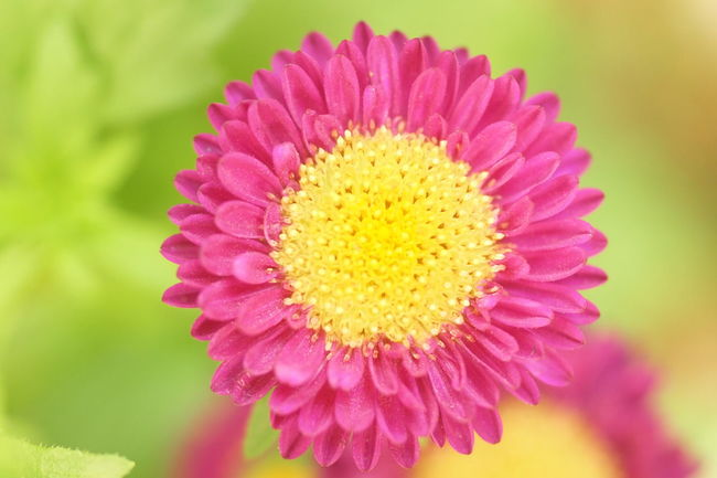 Chysanthemun Flower Head Flower Multi Colored Yellow Zinnia  Springtime Pink Color Petal Close-up Plant