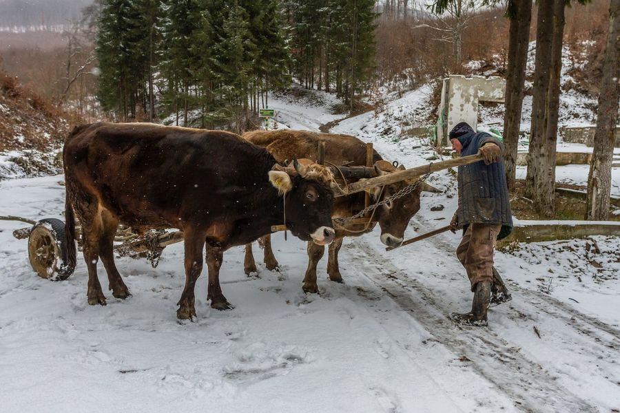 Carpathian Mountains Maramures Romania Teamwork Agriculture Animal Themes Cold Temperature Day Domestic Animals Forest Full Length Human Hand Mammal Maramures Roumanie Nature One Man Only One Person Outdoors Oxen Oxen On The Road Snow Standing Warm Clothing Winter