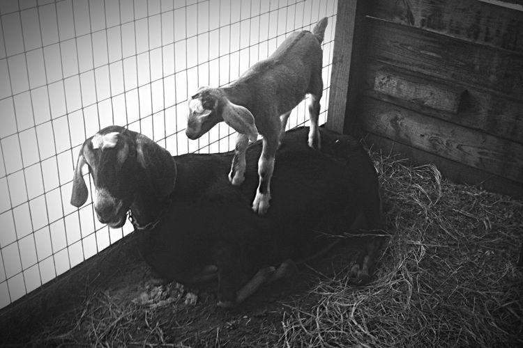 Serenitygoats Goatfarm Goat Life Goat Goats Baby Goats Serenitygoats