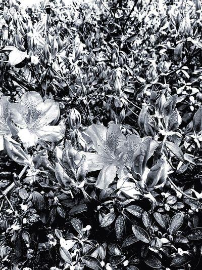 Azalea Flowers In B&w