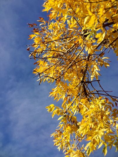 Autumn Autumn Colors Autumn Leaves Blue Branch Branches And Sky Cloud - Sky Colors And Patterns Day High Section Low Angle View Nature Outdoors Sky Tree Yellow