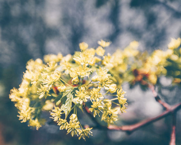 Yellow Linden Flower Branch Blooming Summer Summertime Beauty In Nature Blooming Branch Close-up Day Flower Instagram Linden Linden Flowers Linden Tree Nature No People Outdoors Plant Summer Toning Tree Yellow
