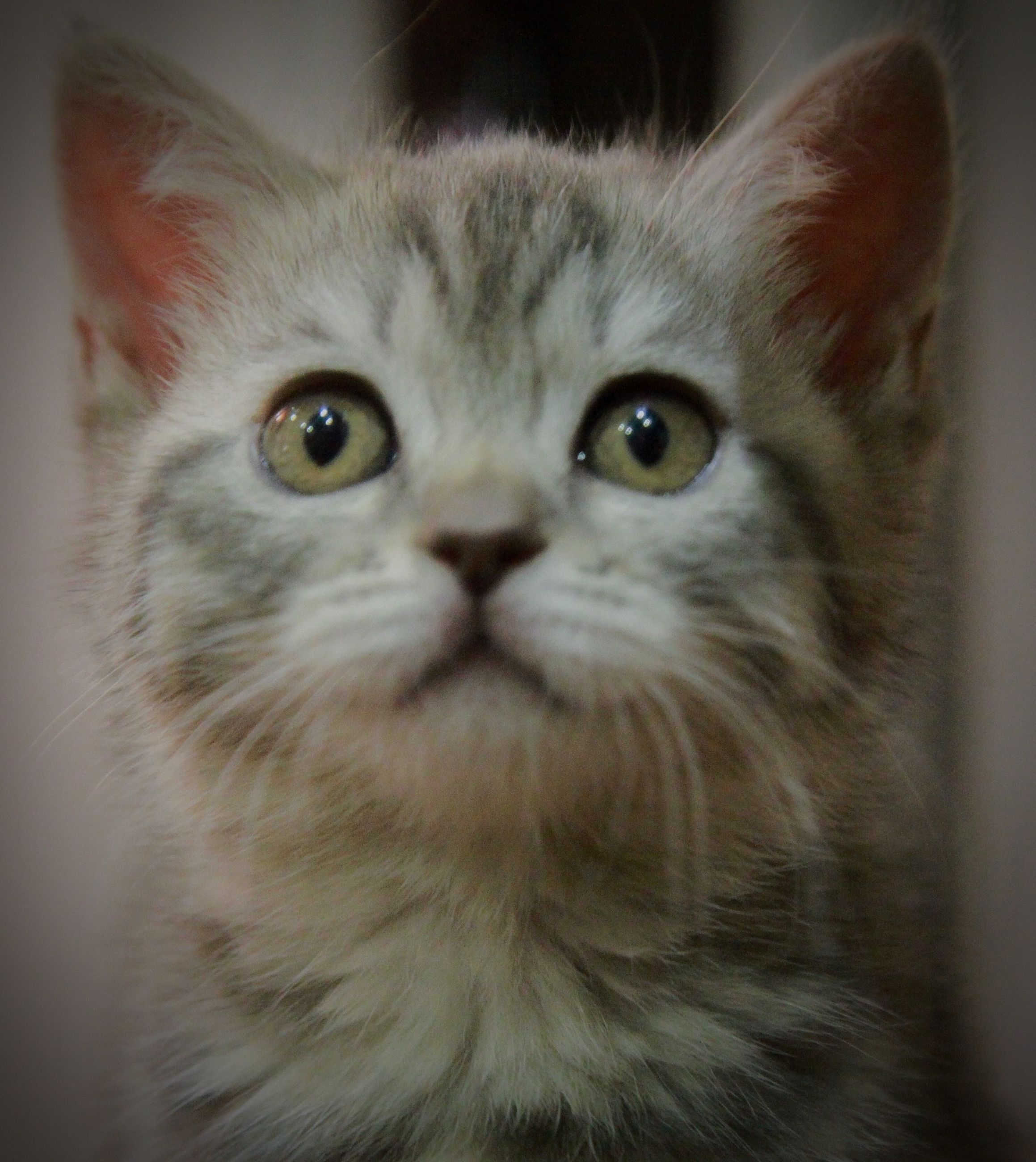 animal themes, one animal, domestic cat, pets, cat, portrait, looking at camera, mammal, domestic animals, indoors, whisker, close-up, feline, animal head, animal eye, staring, alertness, front view, focus on foreground, no people