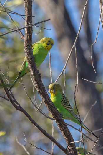 Budgerigars in tree Budgerigar Kimberley Australia Melopsittacus Undulatus Animal Themes Animal Wildlife Animals In The Wild Beauty In Nature Bird Day Nature No People Outdoors Perching Tree Wellensittich