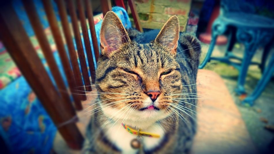 Cookie Cats Cats Of EyeEm Tabby Cat Beautiful Cat Tom Cat My Special Cat Pets Animals Relaxed Cat Enjoying The Sun Chilling Having A Nap Pet Portraits