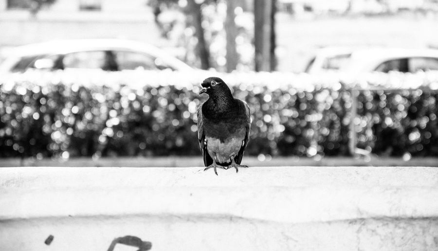 Pigeon perching on retaining wall