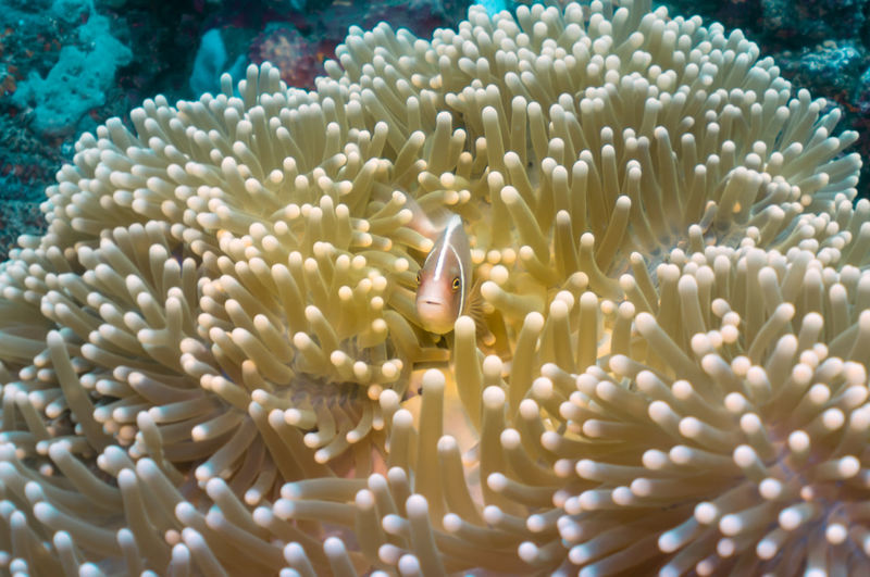 Anemone Fish in