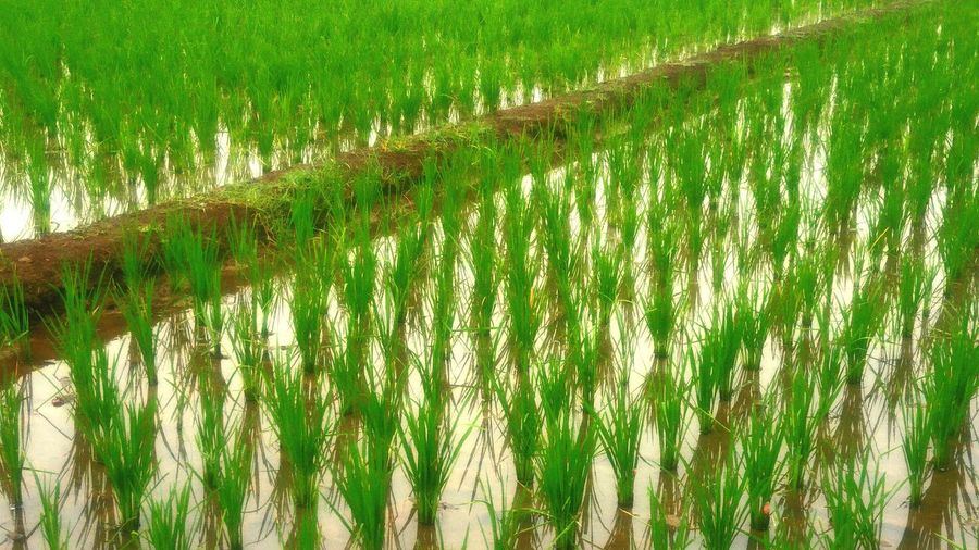 small rice in