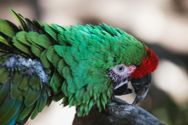 Sick amazon rainforest macaw