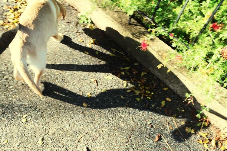 Walkies with my Shadow Dog I Love My Dog Labrador Miltonbiscuit