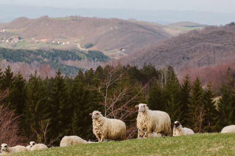 Sheeps Livestock Mountain Group Of Animals Domestic Animals Domestic Landscape Herbivorous Mountain Range Outdoors Field Beauty In Nature Mammal Land Countryside Sheep