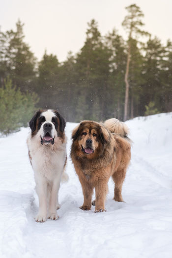 Saint bernard and tibetan mastiff big dogs winter forest snow day