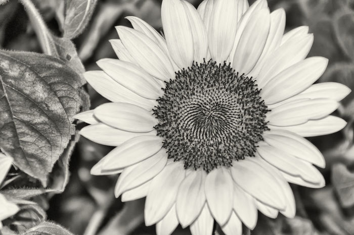 Big Sunflower Beauty In Nature Big Flower Black & White Black And White Blackandwhite Blackandwhite Photography Bnw Botany Bw Bw_collection Close-up Flora Floristry Flower Flower Head Monochromatic Monochrome Nature Plant Pollen Softness Summer Flower Sunflower Sunflower Seeds Sunflower🌻