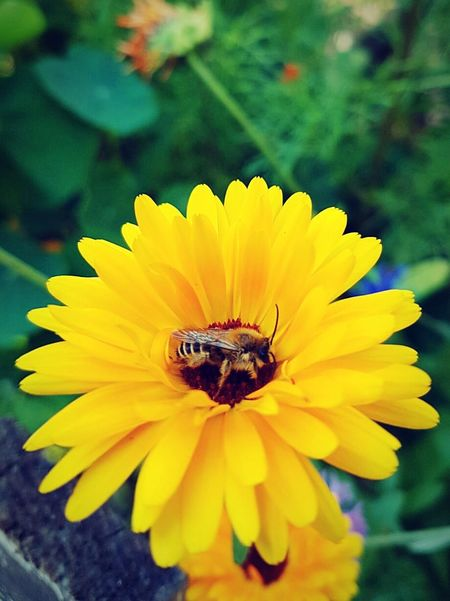 Bieneaufblume🌾 Biene Bees And Flowers Bee Yellow Flower Black&Yellow Showcase July Colour Of Life