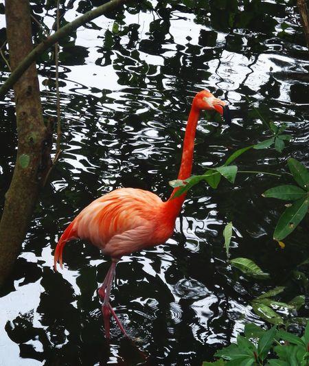 Flamingo Animal 플라밍고 오키나와 네오파크 Okinawa Japan フラミンゴ Animal Themes Water Nature