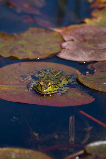 Close-Up Of Frog On Lily Pad