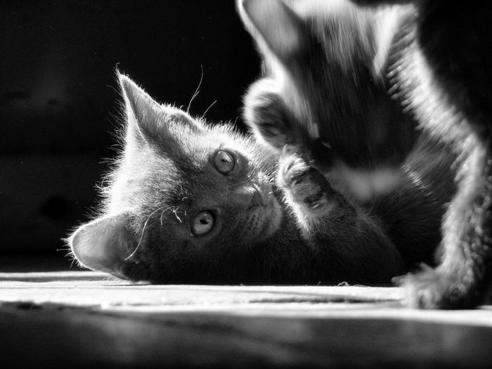 The gentle art of play. George The Cat Kittens Kittens Play Kittenlove Cats B&w Photography Chi The Cat Beautiful Kitties Pets Cute Cats Cats Of EyeEm Light And Shadow Available Light Kittens In B&w Kitten