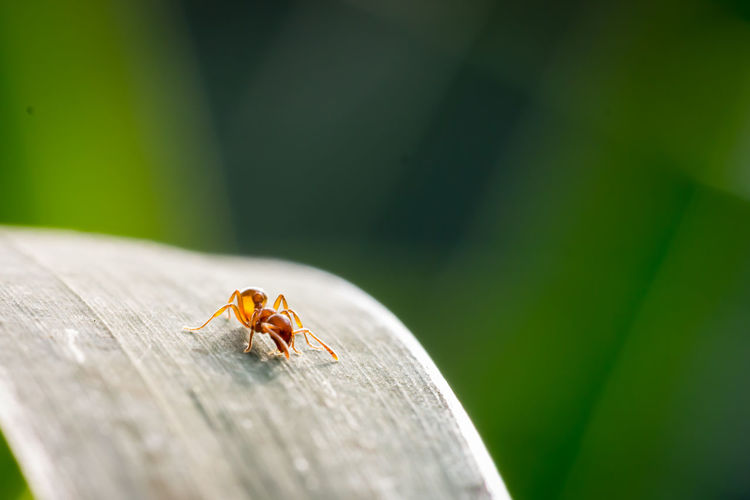 Fire Ant On Leaf