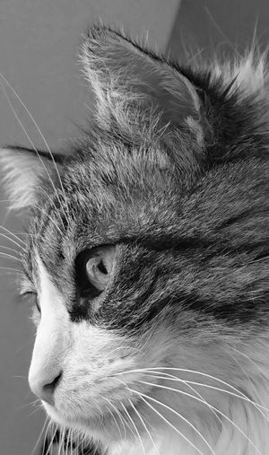 One Animal Animal Themes Pets Domestic Animals Domestic Cat Feline Cat Cats Relaxing Detail I Love My Cat ❤ Blanco Y Negro. Sony Xperia Zx Showcase March Pego