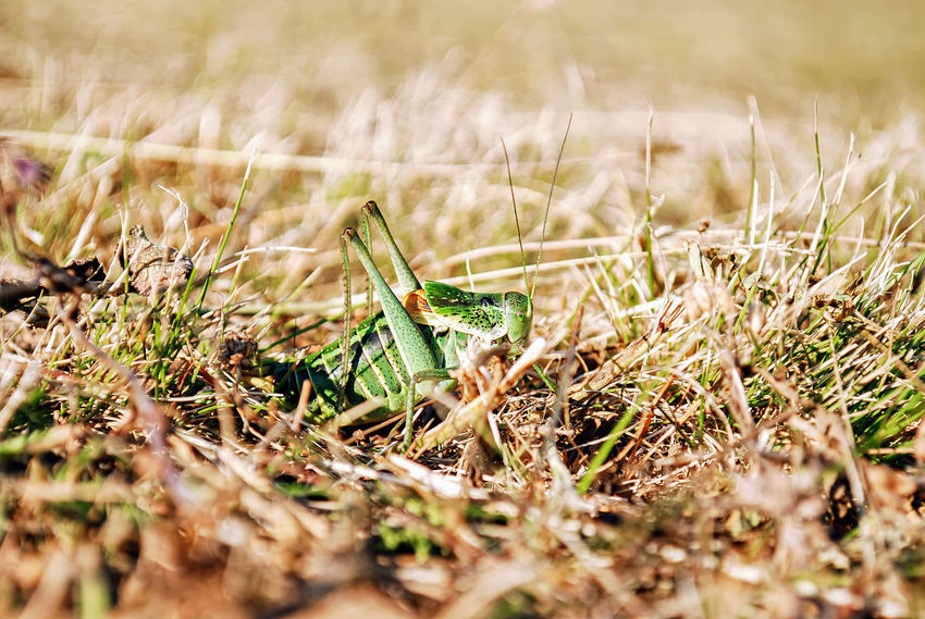 Grasshopper in the natural habitat. Animal Themes Chirruper Close-up Cricket Flying Adder Grass Grasshopper Green Color Grig Locust Natural Habitat Nature Awakening Ready To Jump Selective Focus Spring Spring Has Arrived Camuflage Mimicry