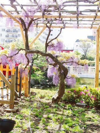亀戸天神 藤の花