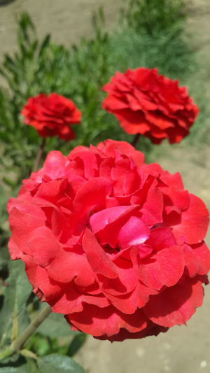 Flower Red Beauty In Nature Fragility Petal Flower Head Focus On Foreground Nature