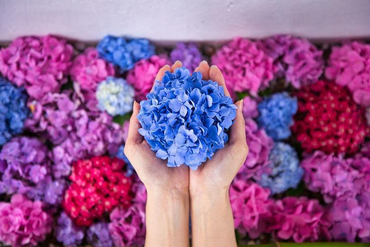 Close-up of hand holding purple hydrangea flowers