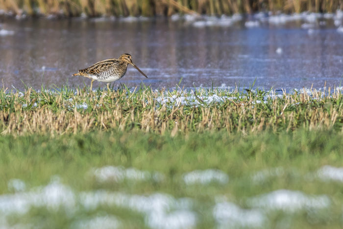 A common snipe on riverside Bird Photography Birds Of EyeEm  Common Snipe Field Gallinago Gallinago Animal Animal Themes Animal Wildlife Animal World Animals Animals In The Wild Animals Life Bird Birds Birds Life Birds World Birds_collection Day Lake Meadow Nature No People Outdoors Snipe Water