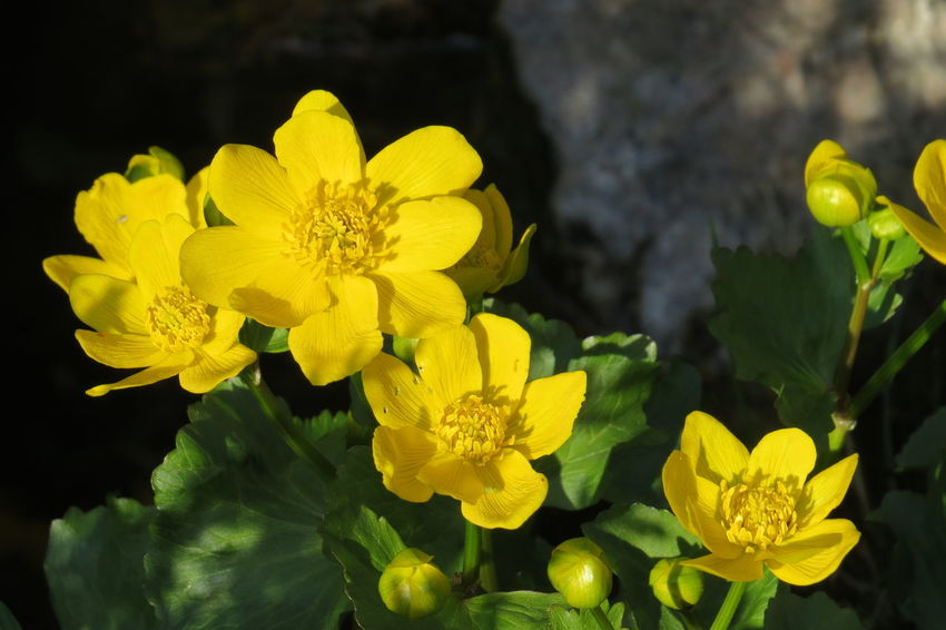 At The Gardenlake Flowers In My Garden Green Color Yellow Flower Beauty In Nature Botany Day Flower Flowering Plant Fragility Freshness Leaf Marsh Marigold Nature No People Outdoors Petal Plant Spring Springtime Yellow