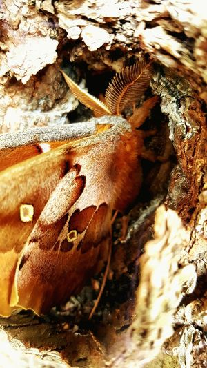 Polyphemus Moth One Animal Animals In The Wild Nature Close-up Outdoors Beauty In Nature Animal Themes No People Zoology Day Animal Wildlife Backgrounds Pet Portraits